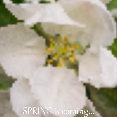 apple blossom: Abstract illustration of apple blossom and words spring is coming Illustration