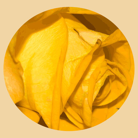 flower close up: Illustration of yellow one beautiful rose close-up