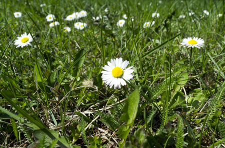 sward: Photo of white daisies on lawn in spring Stock Photo