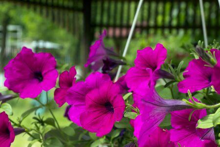 petunias: Photo pink flowers petunias Stock Photo