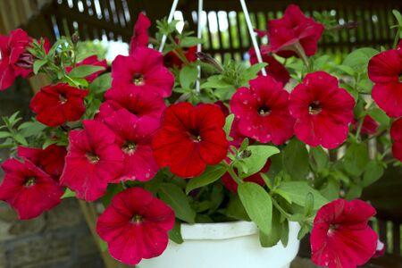 petunias: Photo red flowers petunias Stock Photo