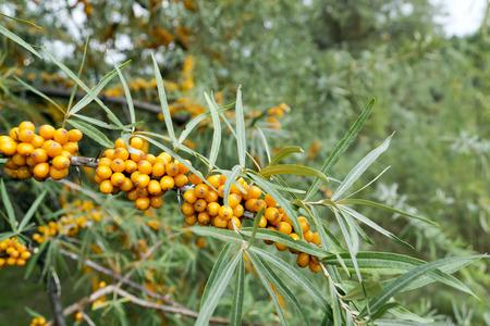 buckthorn: Photo orange buckthorn branches