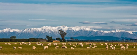Mountain landscape with grazing sheep, New Zealand photo