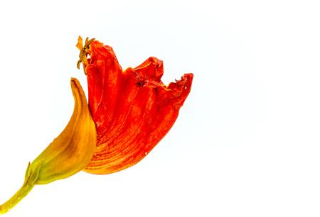 crimson colour: Spathodea (African Tulip) in blossom on white background