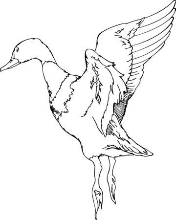duck feet: illustration on the flush duck
