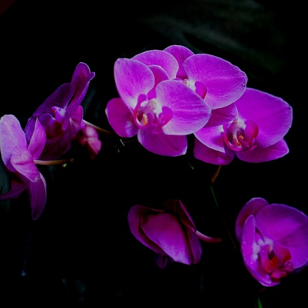 purples: Purples orchid for offering  - Vibrancy in the dark Stock Photo