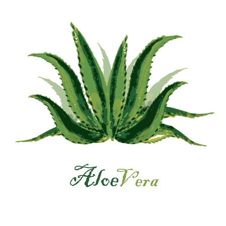 aloe vera: Watercolor background aloe leaves on white, vector