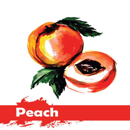 Hand drawn watercolor painting on white background. Vector illustration of fruit peach Vector