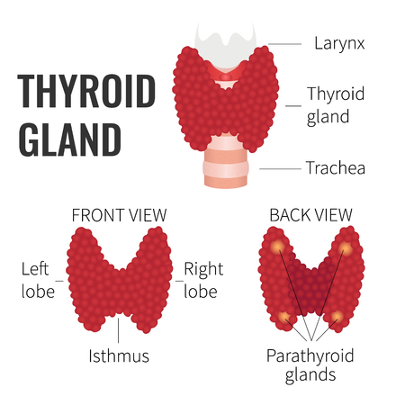 Thyroid gland front and back view on white background. Human thyroid gland structure symbol. Human body organs anatomy icon. Thyroid diagram scheme sign. Medical concept. Isolated vector illustration. Stock Illustratie