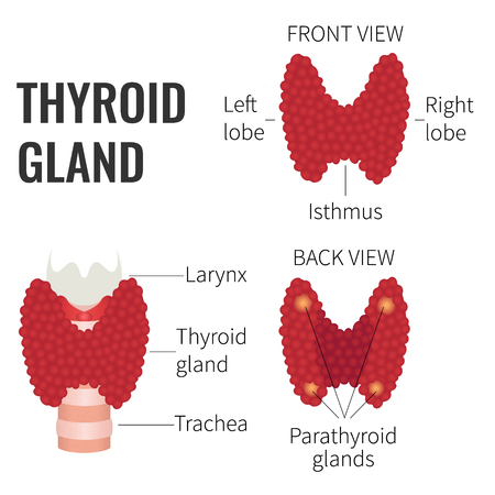 Thyroid gland front and back view on white background. Thyroid gland diagram scheme sign. Human body organs anatomy icon. Medical concept. Isolated vector illustration.