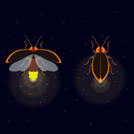 firebug: Firefly bug with open and closed wings on dark background. Bug glowworm symbol. Luminous lightning bug isolated vector illustration. Two fireflies glowing at night. Perfect for your design. Illustration