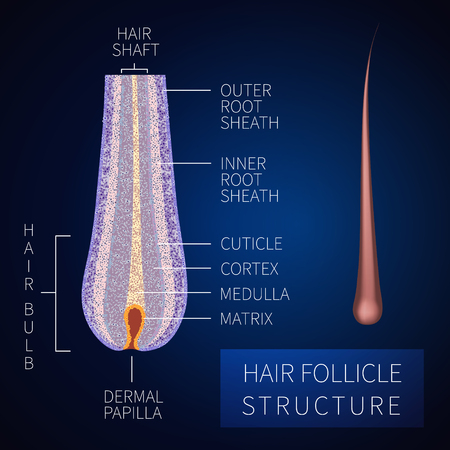 Hair bulb under the microscope. Follicle structure closeup. Vectores