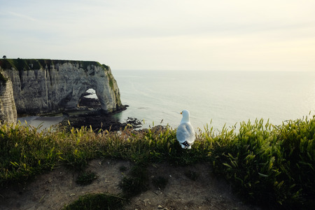 Seagull at Etretat cliff at sunset in Normandy