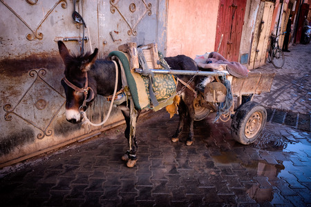 Donkey in old medina of Marrakech, Morocco. Imagens
