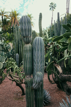 Cactus plants in the Majorelle garden in Marrakech