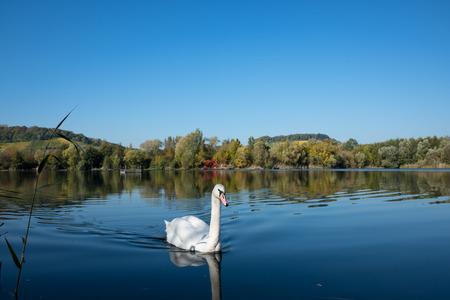 Swan near Biodiversum in the nature reserve Haff Reimech 版權商用圖片