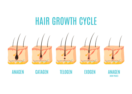 Hair growth cycle medical educational poster. Skin ross-section showing a hair follicle in anagen, telogen and catagen phases. Removal, treatment and transplantation concept. Vector illustration. 向量圖像