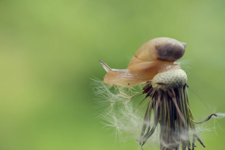Snail sitting on a dandelion that is already bald