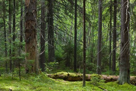 softwood: Softwood forest at summer, Seliger lake, Russia