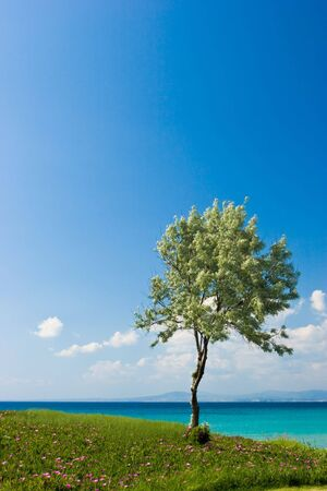 aegean sea: Landscape with olive tree at sunny Greek seaside
