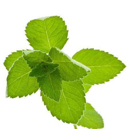 arvensis: Fresh Corn Mint (Mentha arvensis) isolated on white