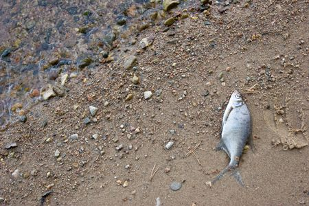 Dead poisoned  fish on a river shore photo