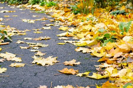 Maple leaves on pavement background photo