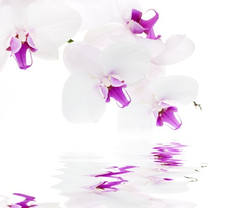 purple orchid: White orchid with reflection on white background