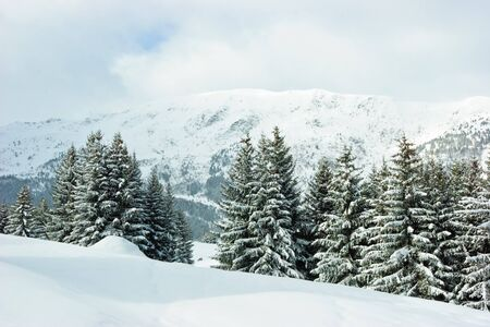 Fir trees covered with snow on  winter mountain at French Alps photo