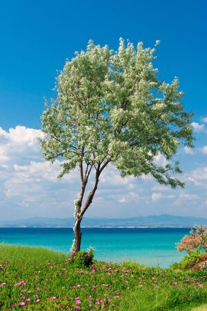 aegean sea: Olive tree at sunny Greek seaside