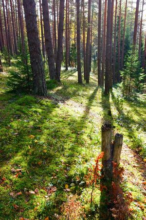 boreal: Sunny morning in  boreal forest