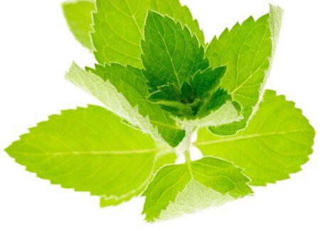 arvensis: Fresh Corn Mint twig (Mentha arvensis) on white background