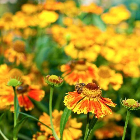 Bee on yellow flower, shallow DOF photo