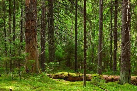 Les profondeurs d'une forêt de pins Banque d'images