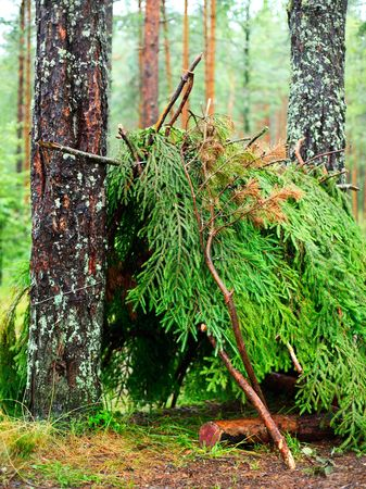 hovel: Empty shelter of branches in a pinewood after rain Stock Photo