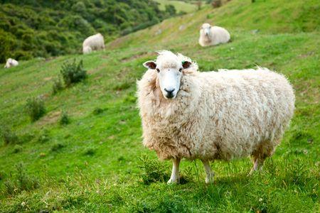 oveja: Ovejas en una pastura en Nueva Zelanda