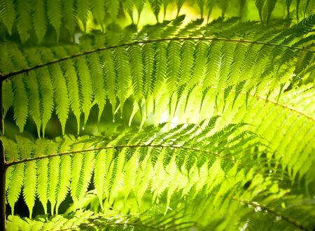 shining through: Sole splende attraverso felce lascia in una foresta pluviale in Nuova Zelanda
