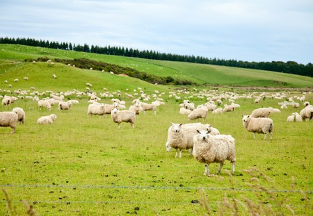 Sheeps at a pasture in New Zealand photo