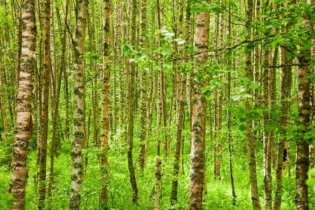 dense: Birch tree leaves and trunks natural background