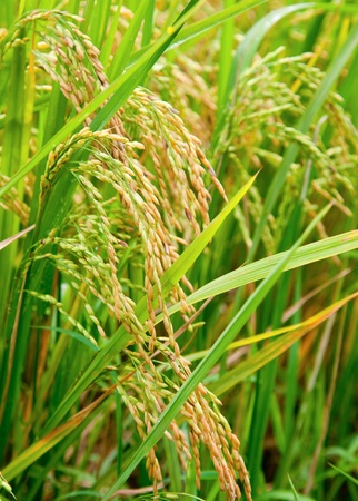 crop  stalks: Ripening rice in a paddy field close up