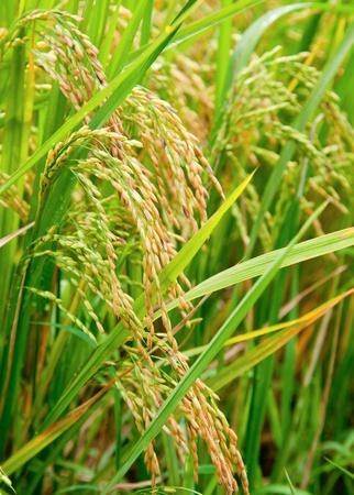 Maduración de arroz en los arrozales de cerca