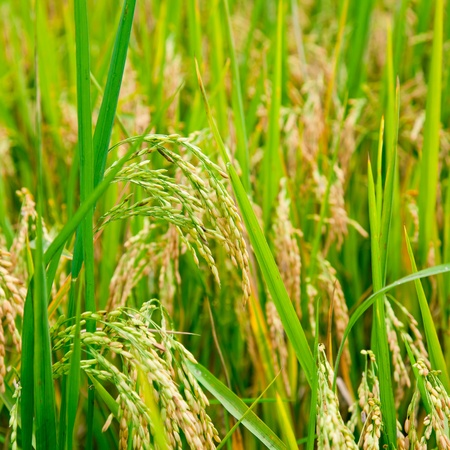 Ripening rice in a paddy field close up photo