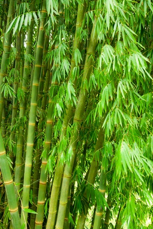 Green bamboo trees natural background Stock Photo - 9624460