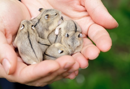 rodents: Close-up of baby hamsters being held in hands