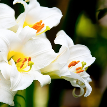 lilies: White Easter Lily flowers in a garden, shallow DOF