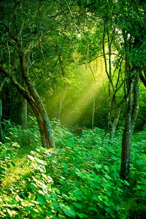 lush: Sunlight rays pour through leaves in a rainforest at Sri Lanka