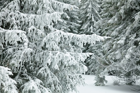 Fir tree branches covered with snow Stock Photo