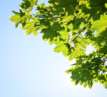 sycamore: Green leaves on maple tree against clear blue sky Stock Photo