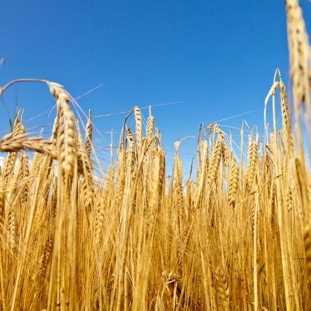 Ripe golden barley field against blue sky photo