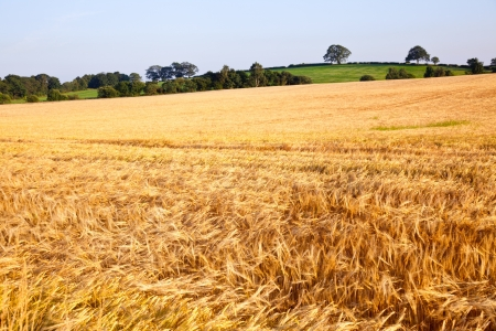 Ripe golden barley field  in Scotland photo
